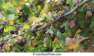 Black currant in the garden on a branch of Bush - Black...