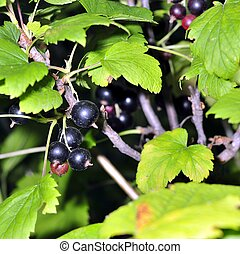 black currant on a branch in the garden