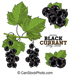 Black Currant Set, Vector. - Black Currant with Leaves,...