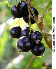 Black currants - currants on the bush