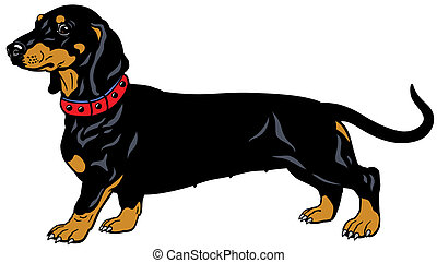 black dachshund - dog smooth-haired dachshund,side...