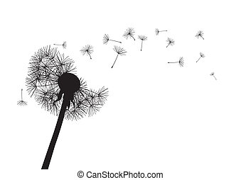 black dandelion on white