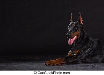 Black doberman dog on black background