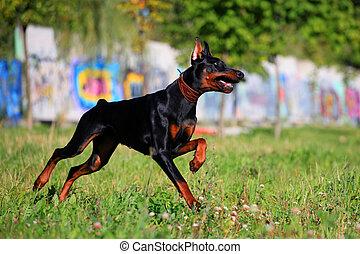 Black doberman running - Beauty black doberman running on ...