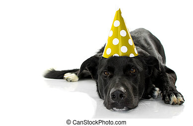 BLACK DOG CELEBRATING A BIRTHDAY PARTY. BORED PUPPY LYING DOWN WEARING A GREEN POLKA DOT HAT. ISOLATED AGAINST WHITE BACKGROUND.