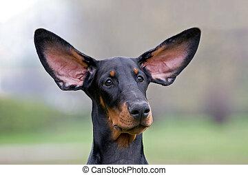 Black dog flying ears - Dobermann puppy portrate, flying...