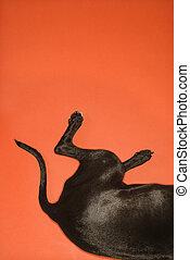 Black dog hind quarters lying down on orange background.