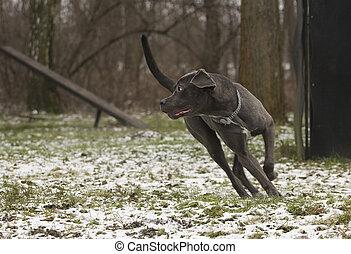 black dog in action