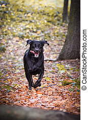 Black dog is running in autumn nature.
