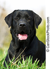 black dog Labrador