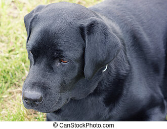 Black dog lying in the field.