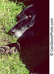 Black dog lying in the grass on a sunny day