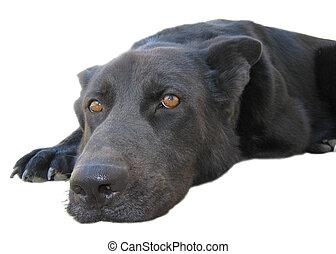 black dog lying on white background