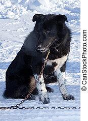 black dog on snow background