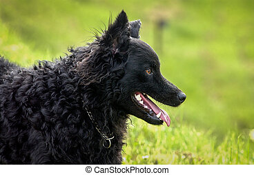 black dog on the meadow