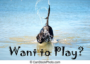 Black Dog Playing In The Ocean Want To Play