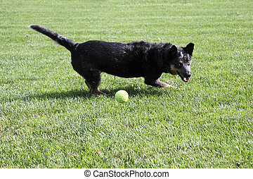 Black dog playing with a ball