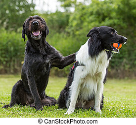 Black dog posing together with border collie.
