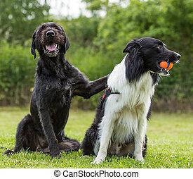 Black dog posing together with border collie.