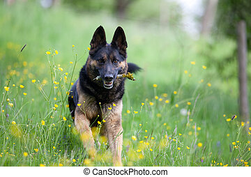 black dog purebred german shepherd play and apport branch in meadow