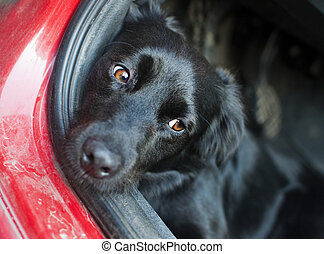 Black dog resting on a car floor with sad look in his eyes....