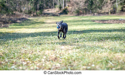 Black dog running with a ball