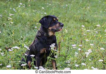 Black dog sits in the tall grass