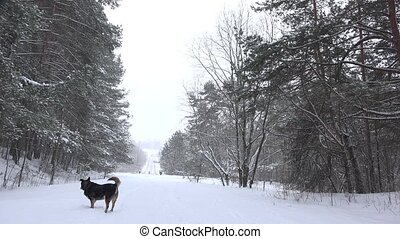 black dog walk in snow covered forest path at winter time. -...