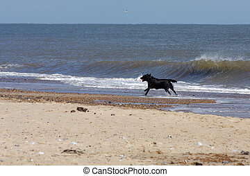 Black dog with a red ball running along the beach at Winterton-On-Sea in Norfolk