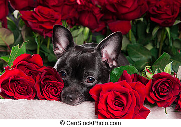 Black dog with red rose