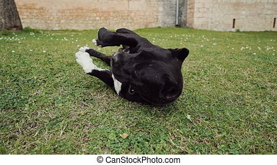 Black dog with white belly tumbles on the green grass