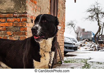 Black dog's muzzle with white breast close-up in winter
