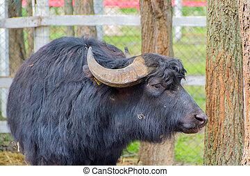 Black domestic cattle, bull