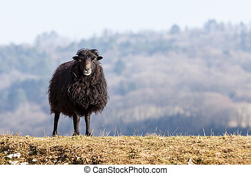 Portrait of a black domestic sheep Ouessant, which is the smallest sheep in the world, adapted to live in windy areas.