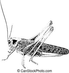 Black Drawn in detail insect pest locust crop destroyer in the fields and gardens isolated on white background