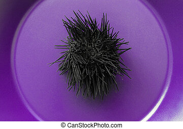 Black Dried Up Sea Urchin in Purple Background Surface