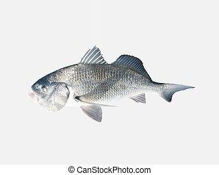 Black Drum - A fine sport fish native to southern Louisiana ...