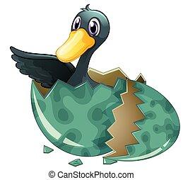 Black duck hatching egg