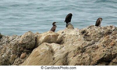 Black duck on the beach.