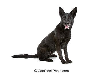 black , duitser, dog, herdershond