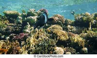 Black durgeon Melichthys niger swimming underwater in Red...