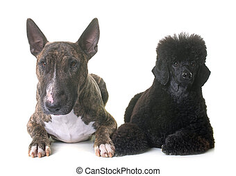 black dwarf poodle and bull terrier in front of white...