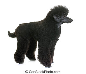 black dwarf poodle in front of white background