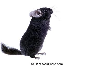 Black ebonite chinchilla on white background. Isolataed