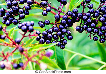 Black Elder berries - Black ?lder berries - dark ripe...