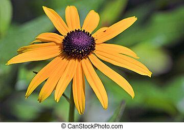 Black eye susan flower rudbeckia hirta