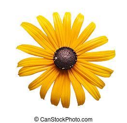 Black eye susan - Yellow black-eye susan flower head...