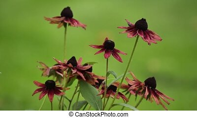 Black-Eyed cherry brandy on the field, Rudbeckia hirta Cherry Brandy in bloom in summer.