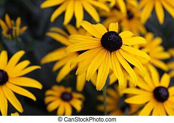 Black-eyed Susan Flower - A Black-eyed Susan (Rudbeckia...