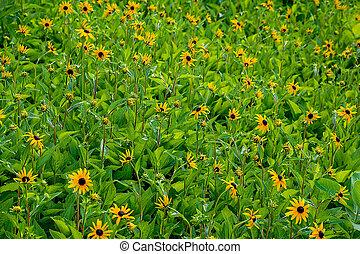 black eyed susan flower field - field of summer black eyed...